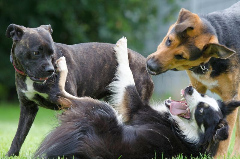 types of dog growls