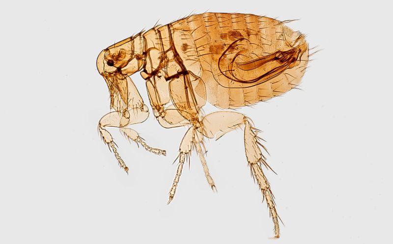How do flea collars work