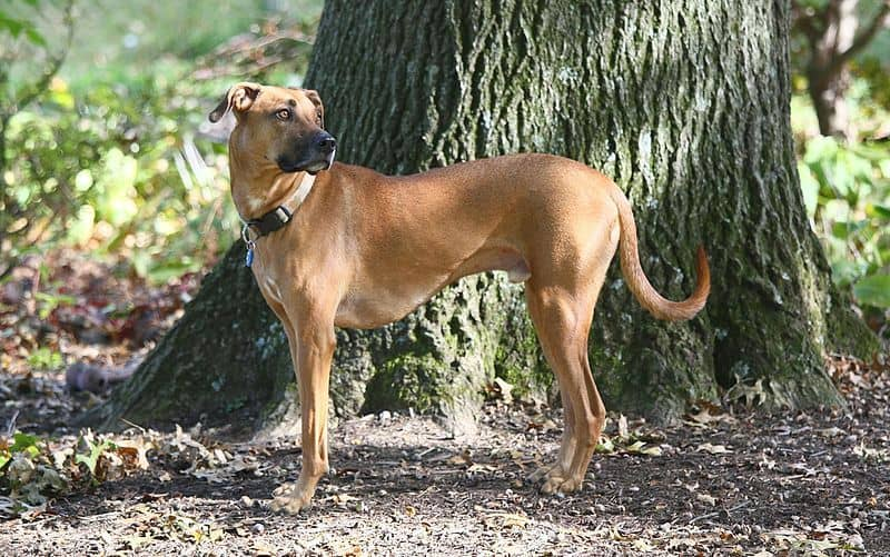 facts about black mouth cur
