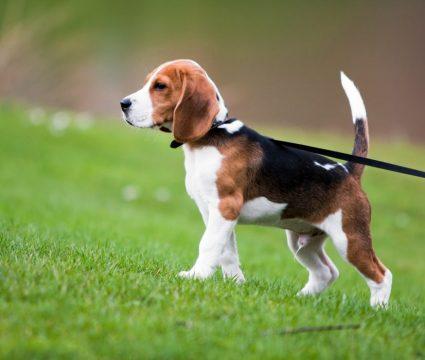 tricolor dog breeds