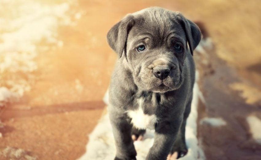 blue dog breeds