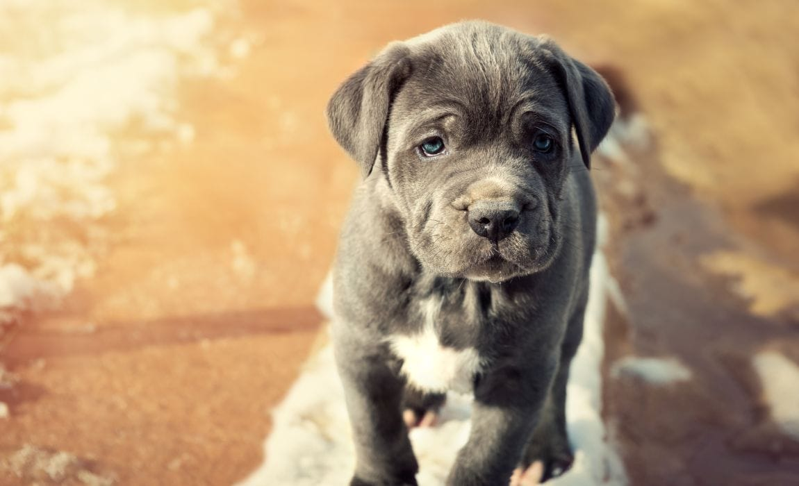 11 Blue Dog Breeds Blue Coated Beauties You Can T Get Enought Of