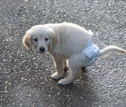 DIY dog diaper