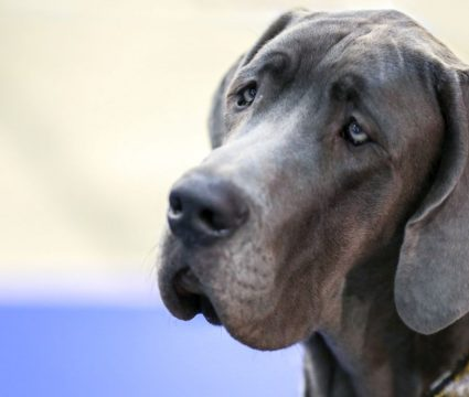 best dog crates for great danes