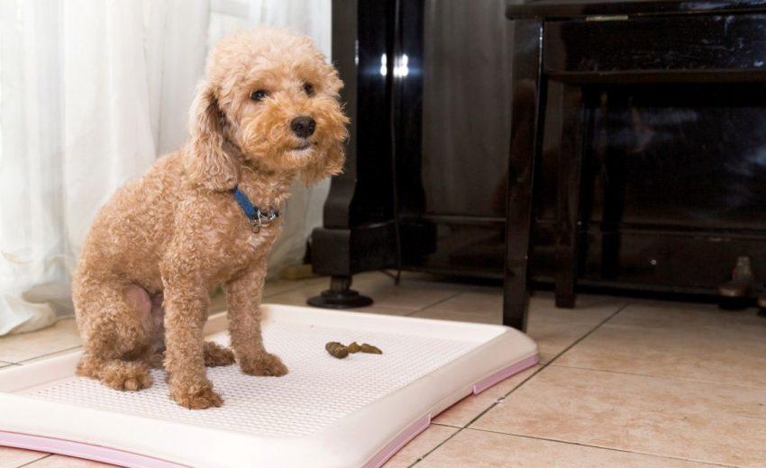 Best Dog Poop Training Spray