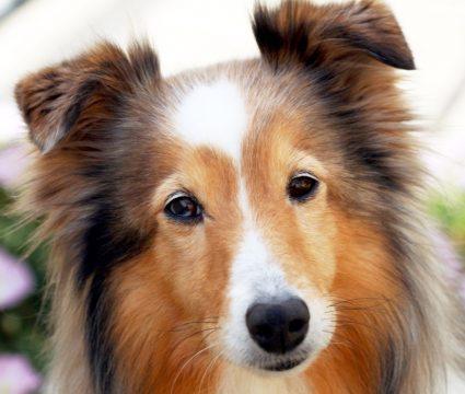 Sable Dog Breeds