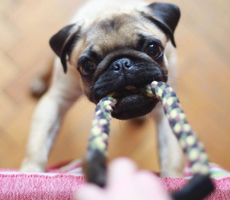 dog indoor tug of war