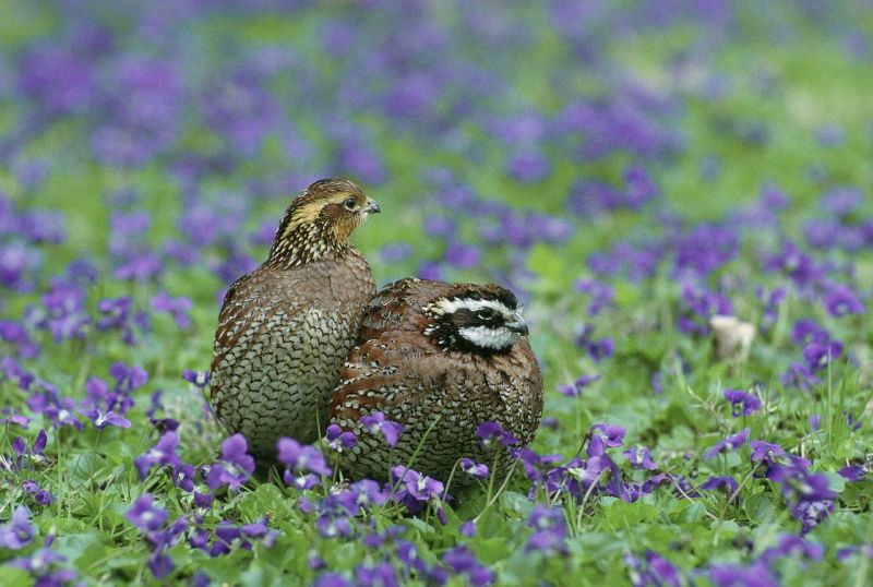 quail meat for dogs