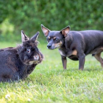 why do dogs eat rabbit poop
