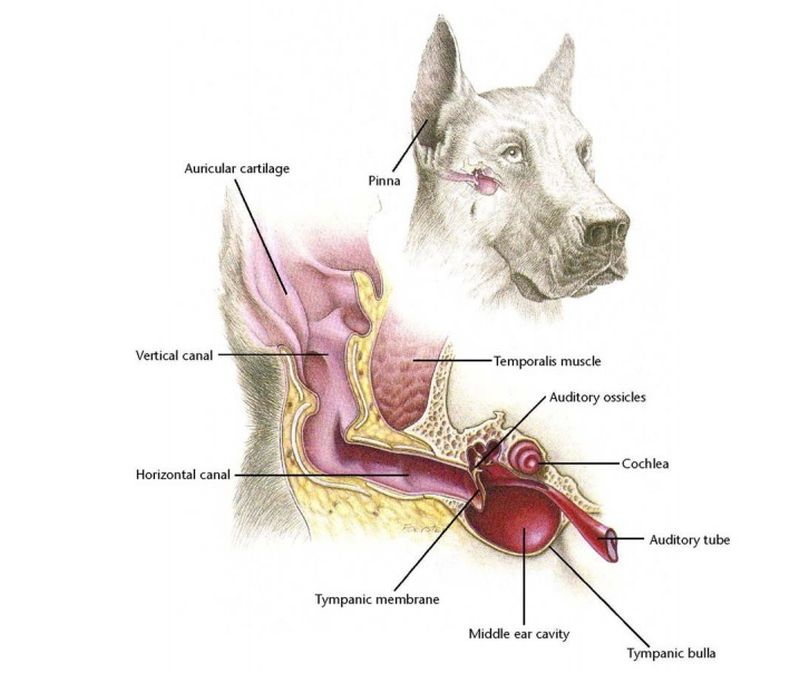 Dog ear antomy