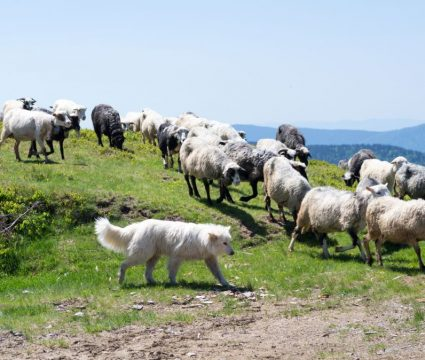dogs who protect livestock