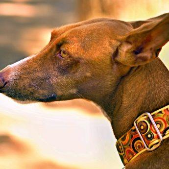 extra wide dog collar