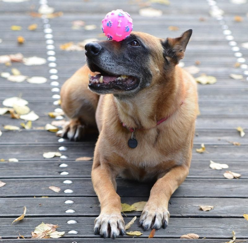 A Belgian malinois is easy to train
