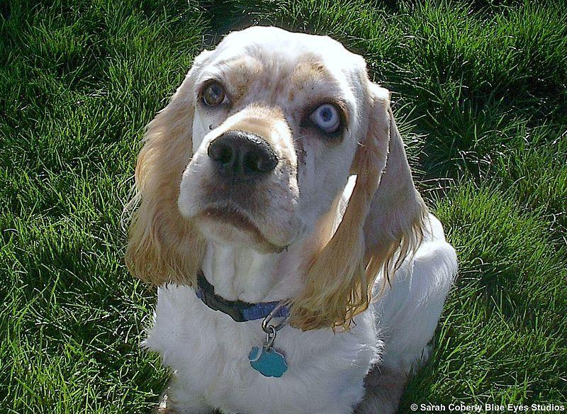Cocker Spaniel with Blue eyes