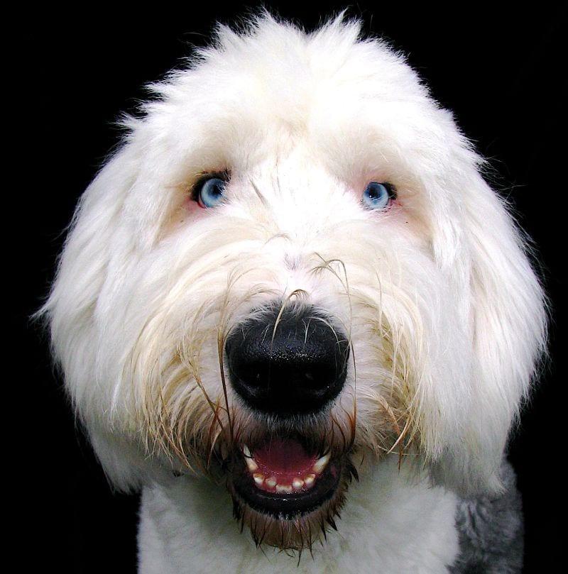 Blue eyed Old English Sheepdog