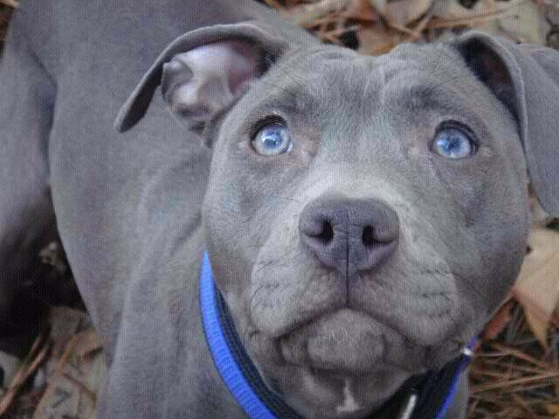 pit bulls are sweet dogs