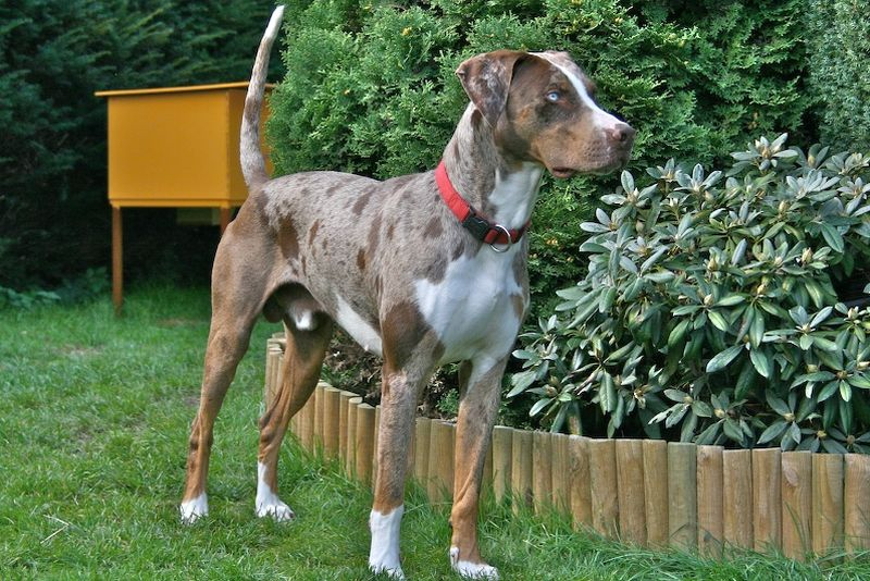 Catahoula Leopard Dog with Blue Eyes
