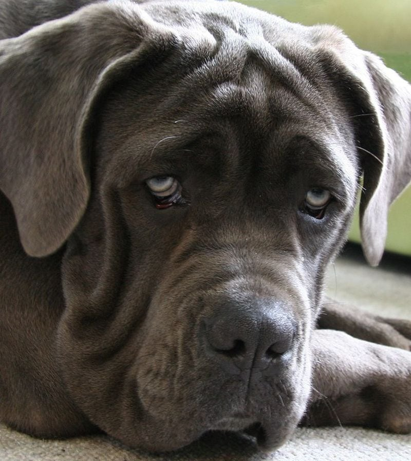 Neapolitan Mastiff with Blue Eyes