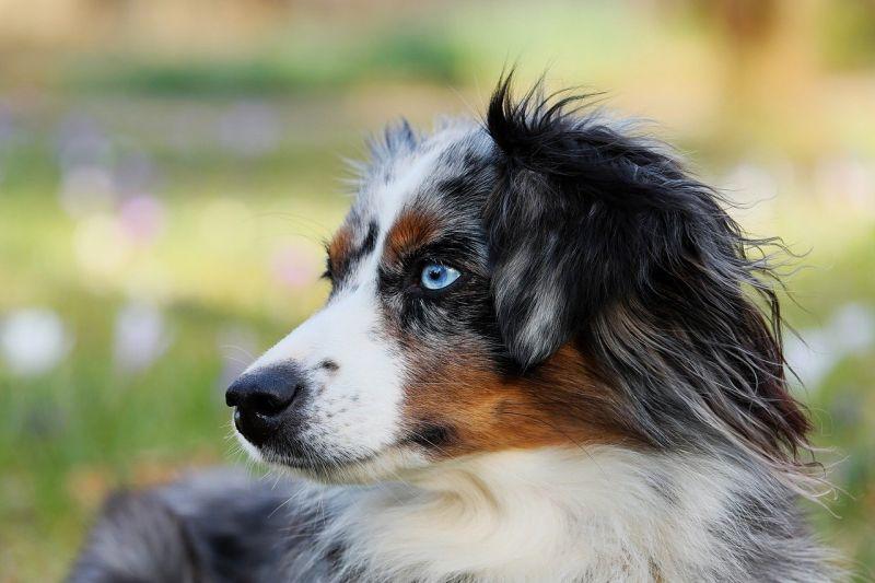 aussie shepherd with blue eyes