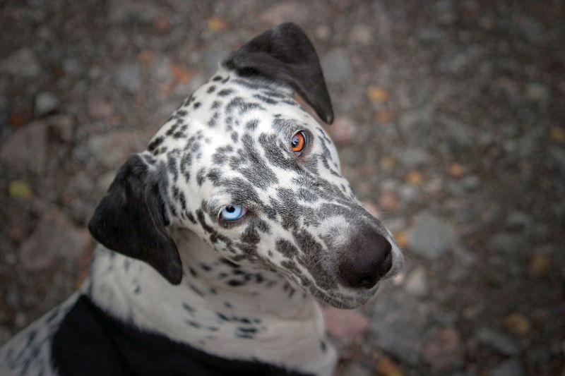 dalmatian with blue eyes