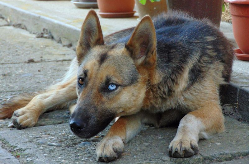 blue eyed german shepherd