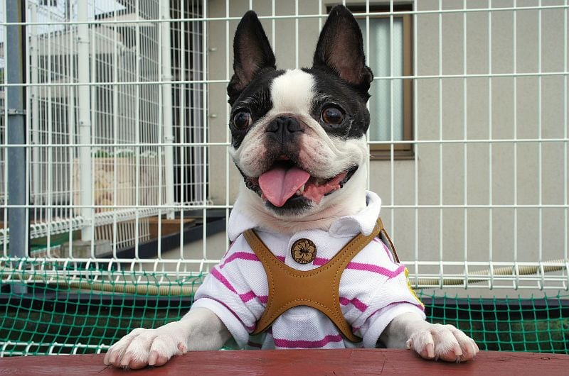 Boston Terriers make good city dogs