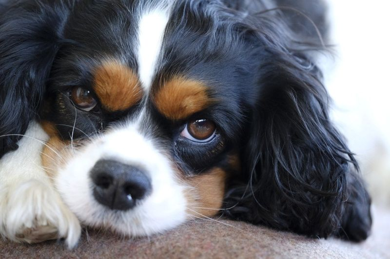 Cavaliers are British dogs