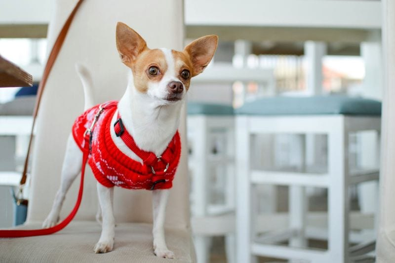 Chihuahuas like living in the city