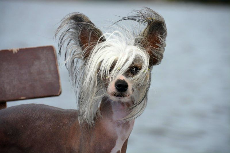 Chinese crested dogs thrive in cities