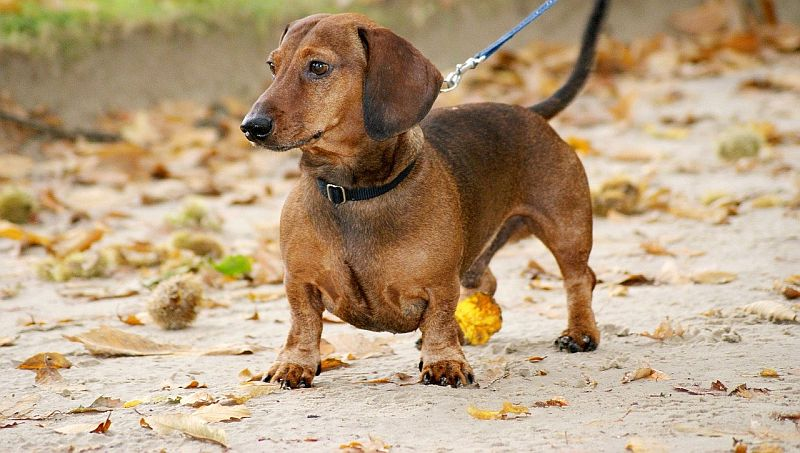 dachshunds have webbed paws