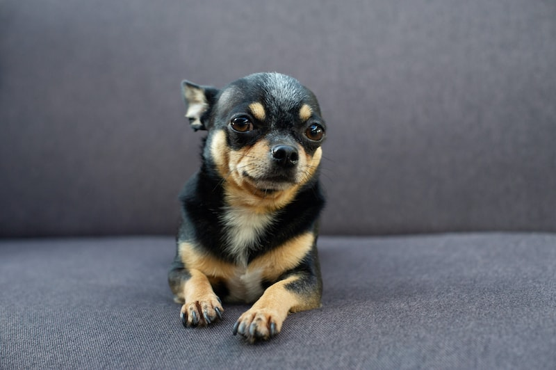 dog with flattened ears