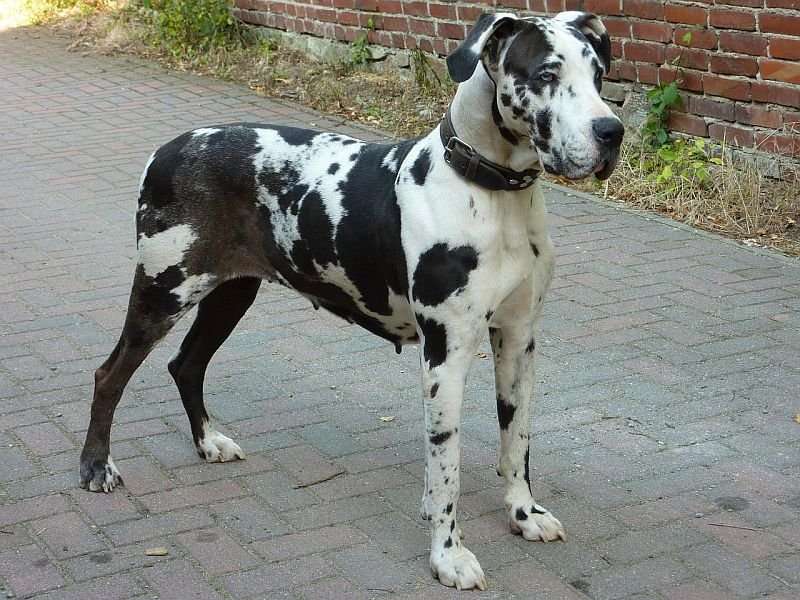 Great Dane living in the city
