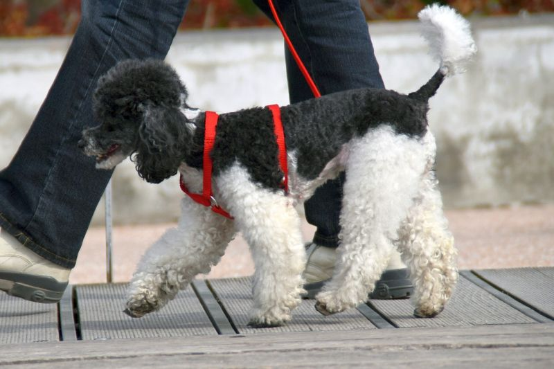 Poodle Living in the City