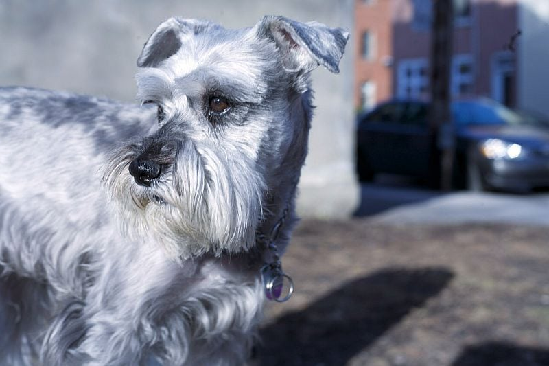 schnauzers are good city dogs