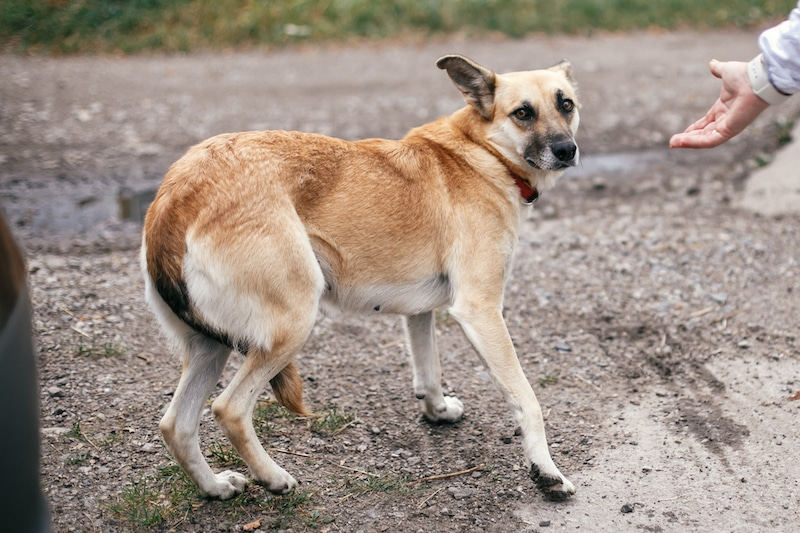 dog with tucked tail