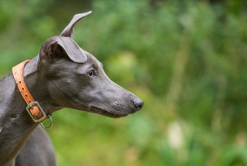 whippets make good city dogs