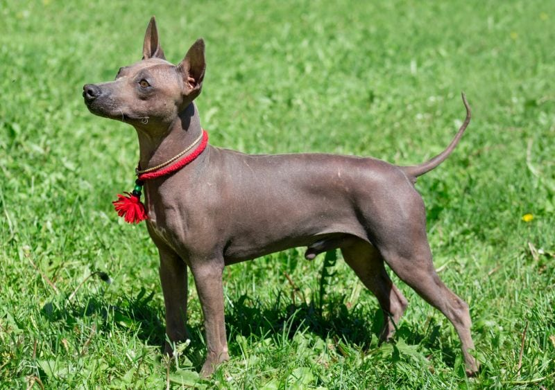 Hairless terriers are low-shedders