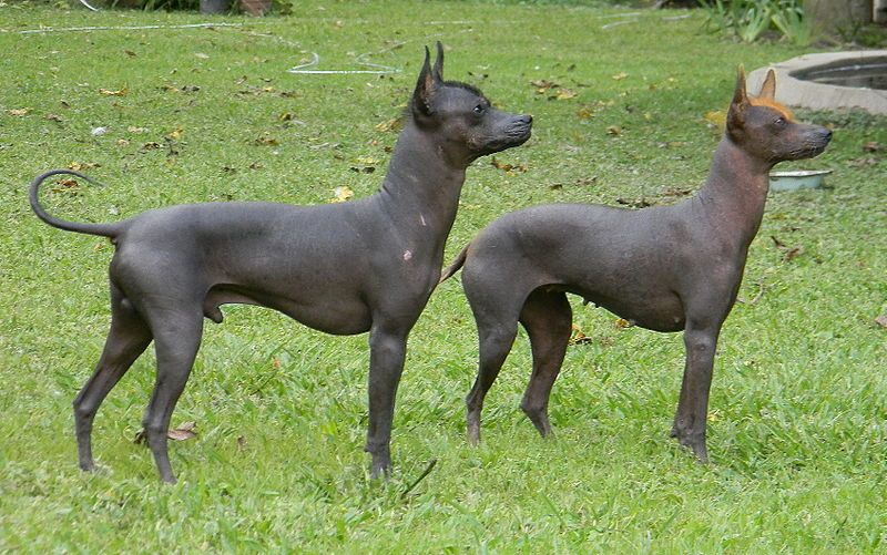 Argentinian Hairless Dog