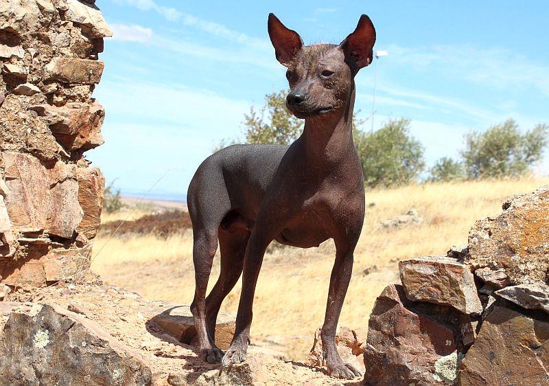 Peruvian Hairless Dog