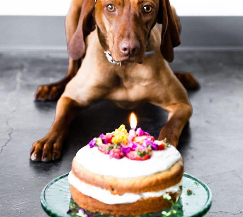 dog waiting to eat cake