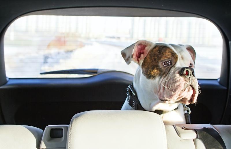 scared dog in car