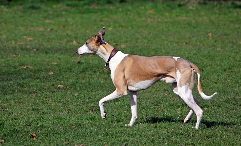 Whippets are British