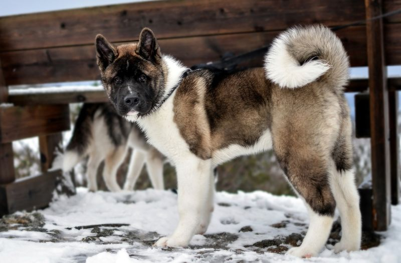 Akitas are a Japanese breed