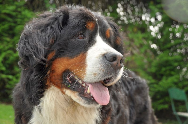 Bernese Mountain Dogs love hanging outside