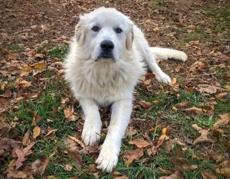 Great Pyrenees are fluffy dogs