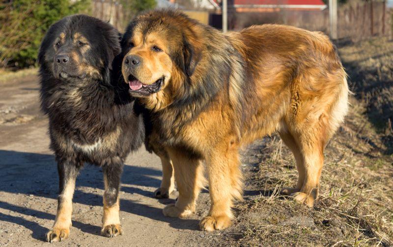 Tibetan mastiffs are fluffy