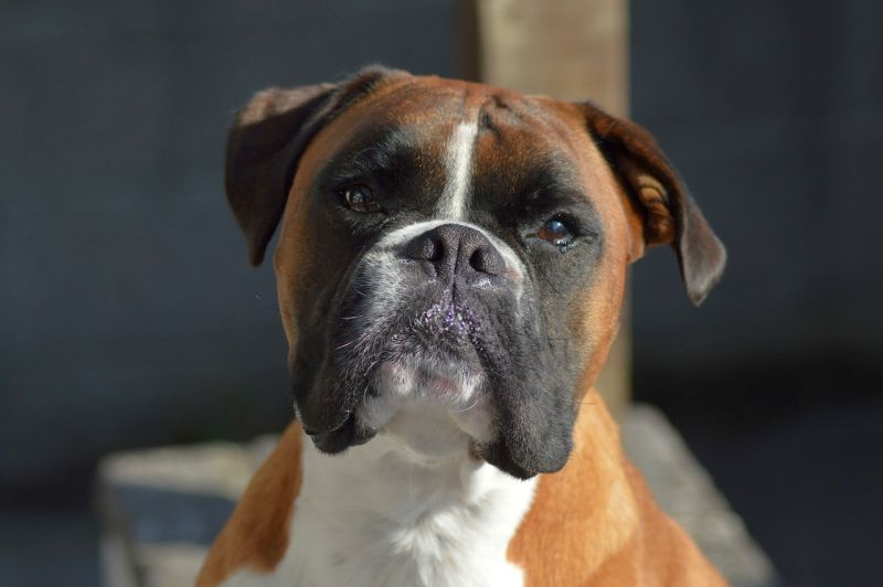 Boxers are working dogs