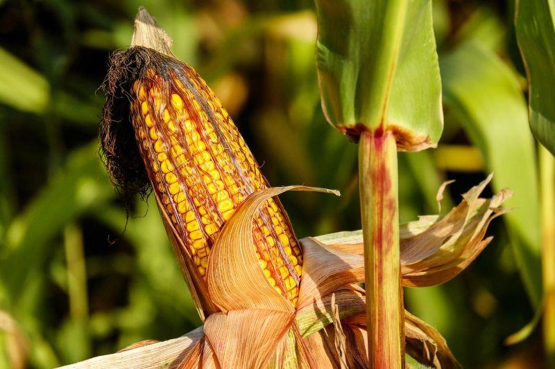 corn-based plastic