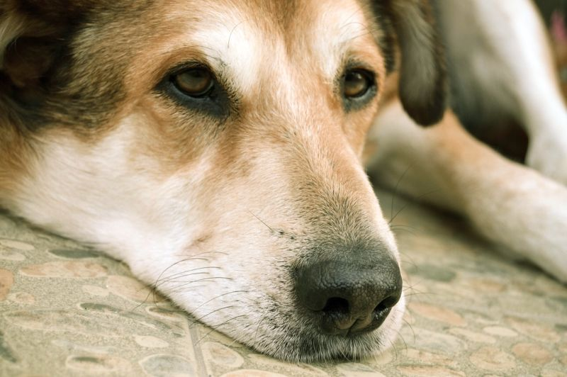 depression in dying dogs