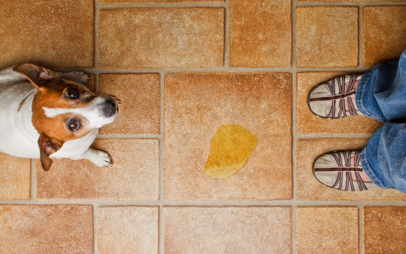 Aging dog incontinence